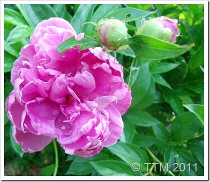 flower peony3