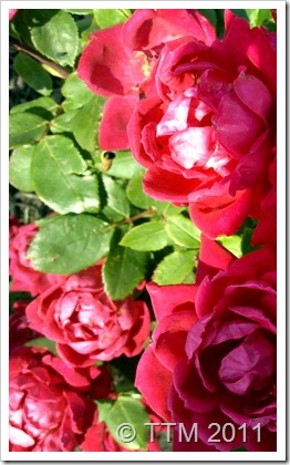 flowers roses2